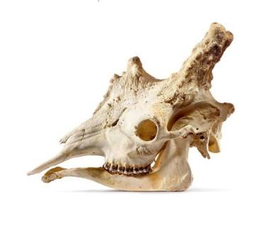 A Massive Giraffe Skull (Small)