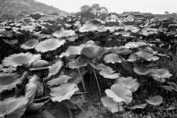 游擊隊訓練:士兵們穿越 一片蓮池。 瓦特爾‧博薩特 中國,1938 年。 Guerilla training: soldiers moving through a lotus pond. Walter Bosshard China, 1938.